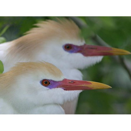 Portrait of Two Cattle Egrets in Breeding Plumage at St. Augustine Alligator Farm, St. Augustine Print Wall Art By Arthur (The Alligator Farm In St Augustine Fl)