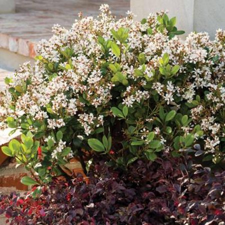 Image of 7 Gal - Spring Sonata Indian Hawthorn (Raphiolepis) - White Blooming Live Evergreen Shrub