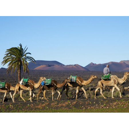 Excursion By Camel to Visit Volcano, National Park of Timanfaya, Lanzarote, Canary Islands, Spain Print Wall