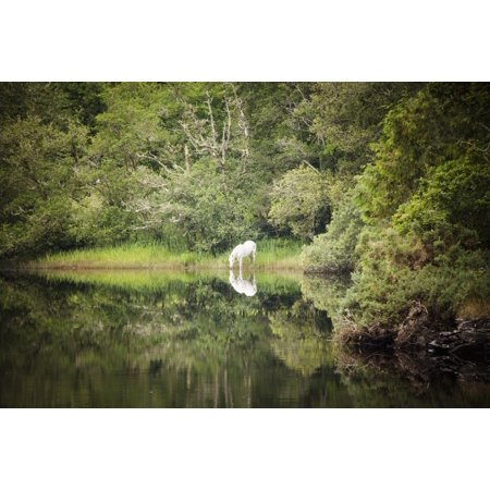 White horse drinking water from a stream by a lush green woodland County Galway Ireland PosterPrint (Irish Drinking Poster)
