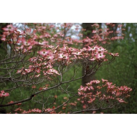 Pink Dogwood Blooms Print Wall Art By Anna - Dogwood Bloom