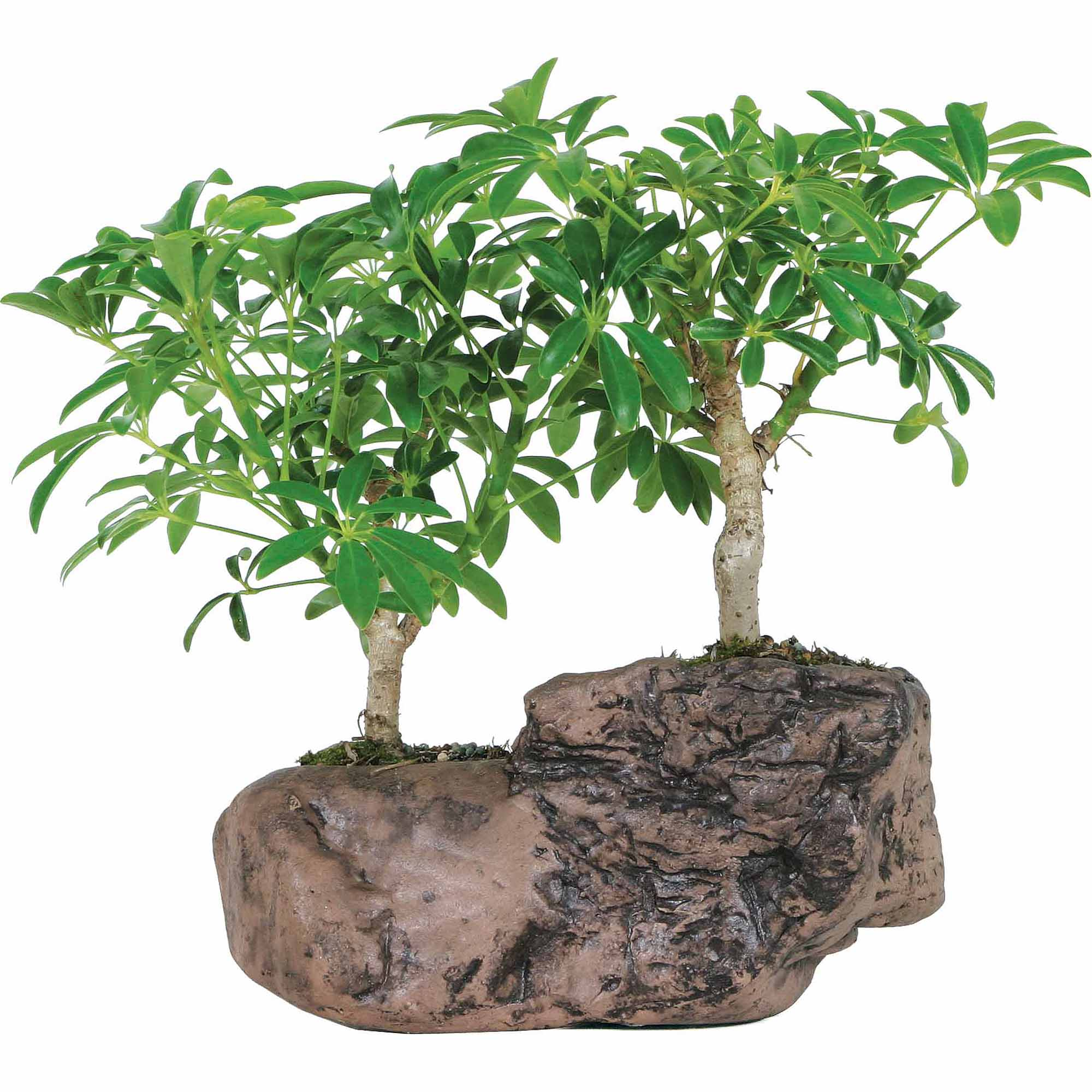 Brussel's Hawaiian Umbrella Bonsai Tree In Rock Pot by Brussel's Bonsai