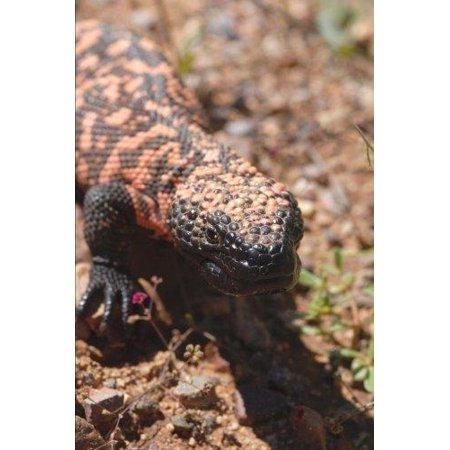 Gila Monster Journal: 150 Page Lined Notebook/Diary - Monster Liner