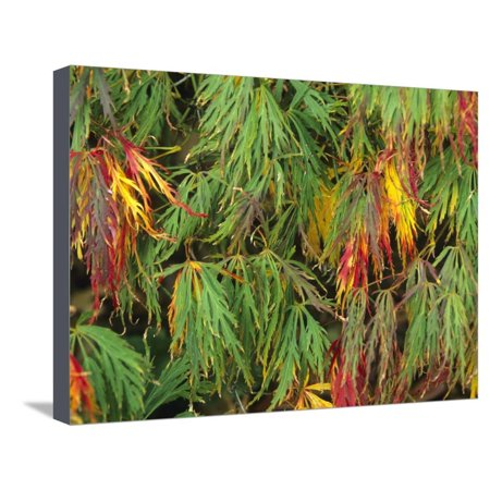 The Autumn Colors of a Filigree-Leafed Japanese Maple (Acer Palmatum), Dissectum Group Cultivar Stretched Canvas Print Wall Art By Consumer (Acer Palmatum Dissectum Crimson Queen Japanese Maple)