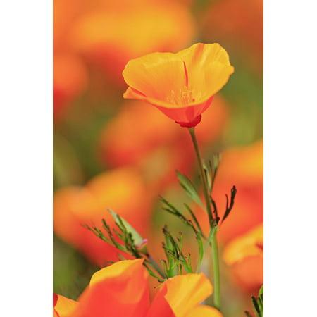 Poppy flowers, Malibu Creek State Park, Los Angeles, California, United States of America, North Am Print Wall Art By Richard