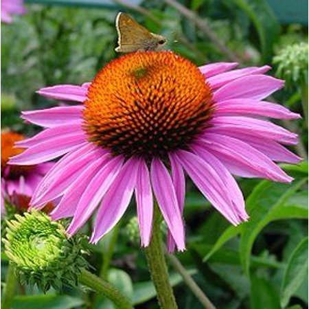 Ruby Star Coneflower Perennial - Echinacea - Quart Pot