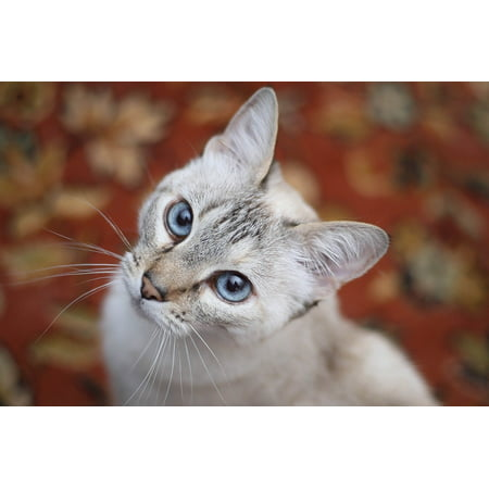 LAMINATED POSTER Cat Blue Eyes Feline Look Up Animal White Pet Poster Print 24 x 36 Blue Eyed White Cats