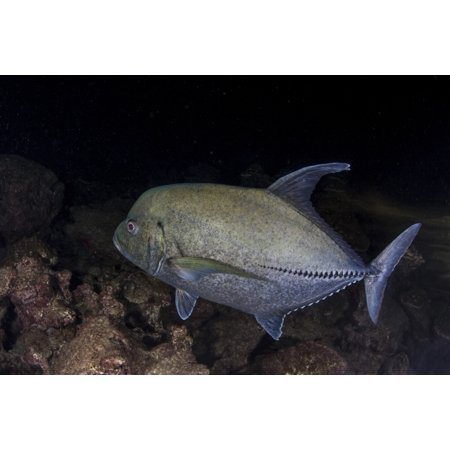A Black Trevally Swims Over The Seafloor Near Cocos Island Costa Rica Canvas Art   Ethan Danielsstocktrek Images  17 X 12