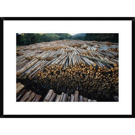 Global Gallery Gum Tree Lumber  The Worlds Biggest Source Of Eucalyptus Pulp For Paper  Atlantic Forest  Brazil Framed Photographic Print