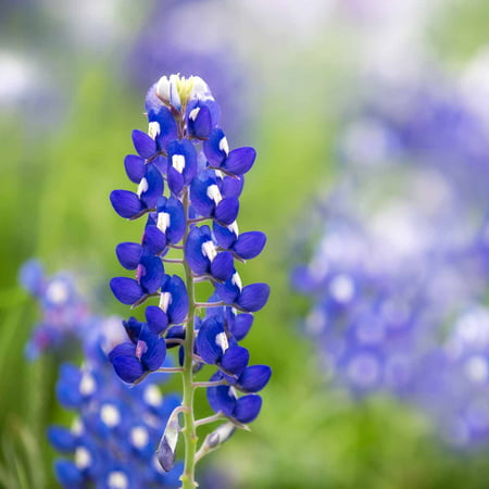 Lupine flower garden seeds texas blue bonnet 1 oz perennial lupine flower garden seeds texas blue bonnet 1 oz perennial flower gardening seeds bluebonnet wildflower lupinus texensis walmart mightylinksfo