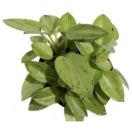 Pixie Lime Green Variegated Peperomia - 2.5