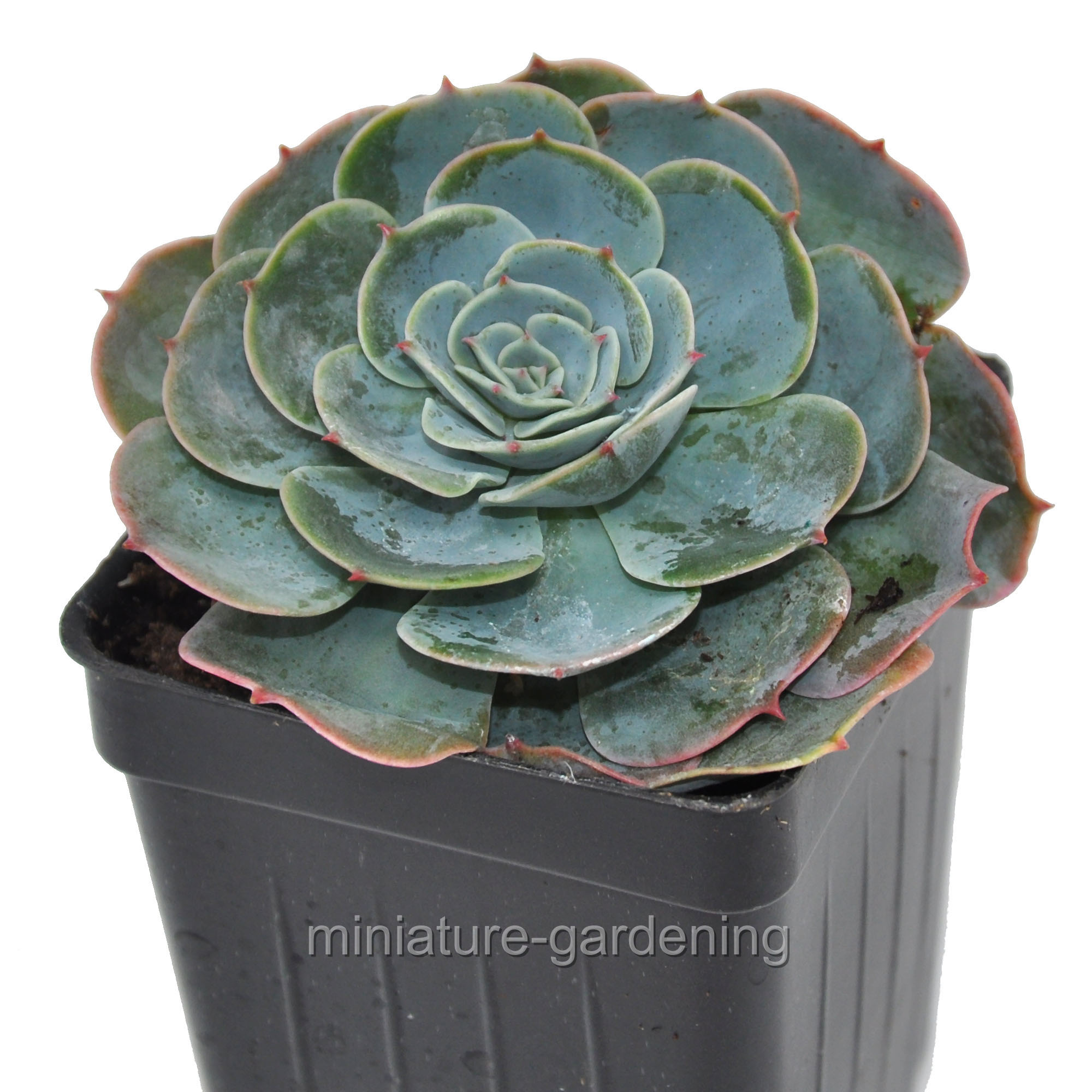 Echevaria Imbricata Blue Rose Mexican Hen And Chicks Incl Heat