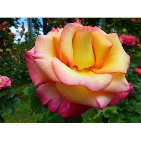 Framed Art For Your Wall Flower Macro Pink Eugene Oregon Rose Flora Nature 10x13 Frame - Party City Eugene Oregon