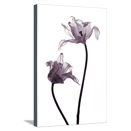 Two Transparent Tulips in Back Light on White Background Stretched Canvas Print Wall Art By Zaretska Olga (Halloween Clip Art Transparent Background)