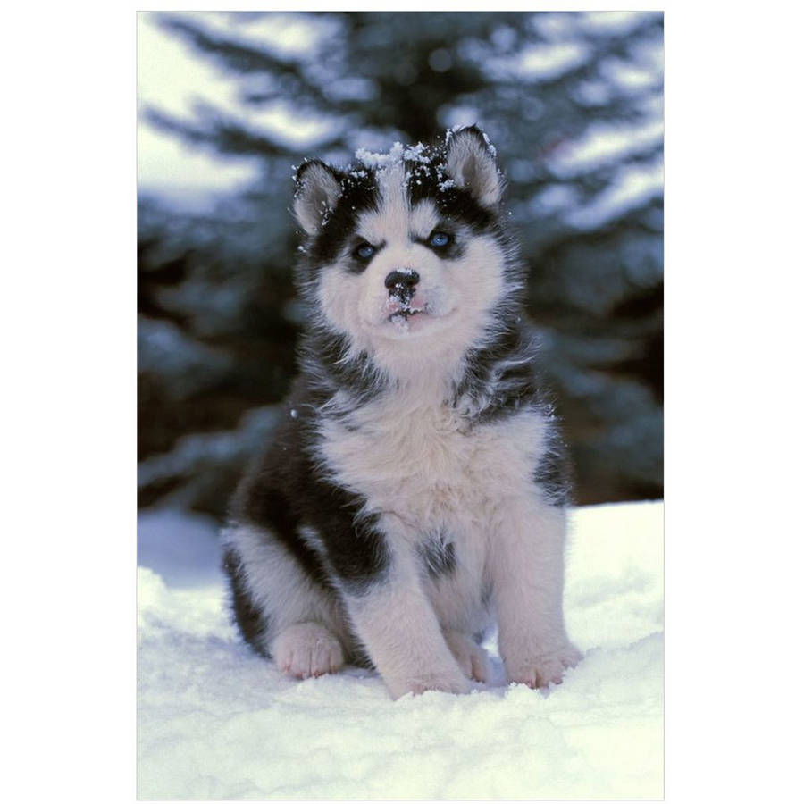 Siberian Husky Puppy Sitting In The Snow by Eazl Cling