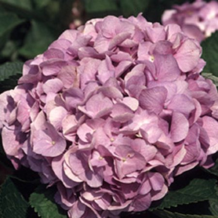 Glory Blue Hydrangea, Flowering Shrub