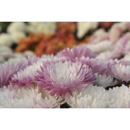 Canvas Print Spring Flower Plant Chrysanthemum Nature Stretched Canvas 10 x 14 Chrysanthemum Flower Pictures