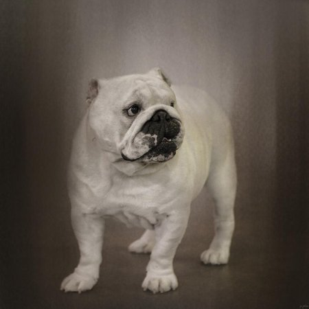 Quiet Observer Bulldog Puppy Print Wall Art By Jai