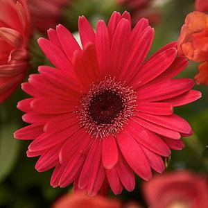 Image of 1.25qt Gerbera Daisy