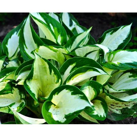 Loyalist Hosta- NEW!- Sport of Patriot- Lavender Flowers- Live Plant - Quart Pot