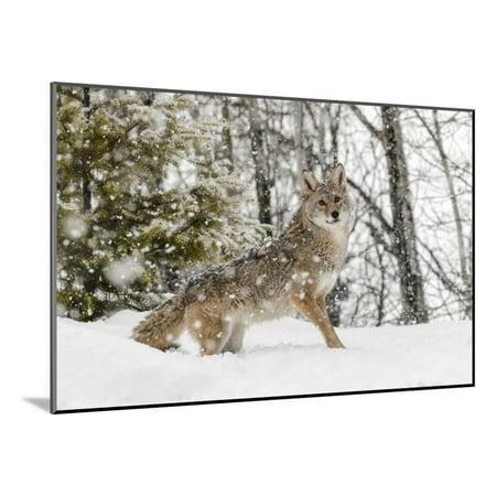 Coyotes Wood (Coyote in snow, Montana Wood Mounted Print Wall Art By Adam Jones )