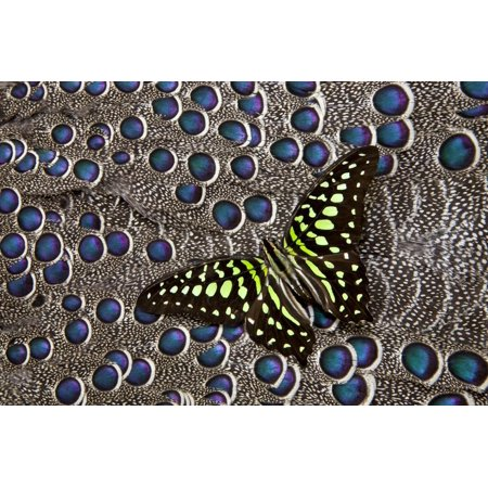 Tailed Jay Butterfly on Grey Peacock Pheasant Feather Design Print Wall Art By Darrell