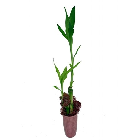 Lucky Bamboo with Moss - Pink Ceramic Vase - 3