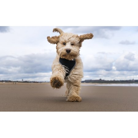 A cockapoo running towards the camera on a beach South Shields Tyne and Wear England Poster Print by John Short  Design Pics