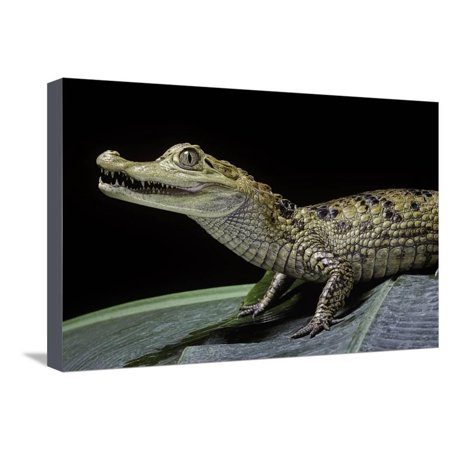 Caiman Crocodilus) (Spectacled Caiman) Stretched Canvas Print Wall Art By Paul (Raymond Spectacles)