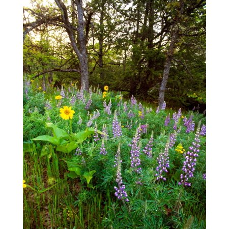 Balsamroot and Lupine flowers blooming in a forest Tom McCall Nature Preserve Columbia River Gorge National Scenic Area Multnomah County Oregon USA Poster Print by Panoramic (Toms River New Jersey County)