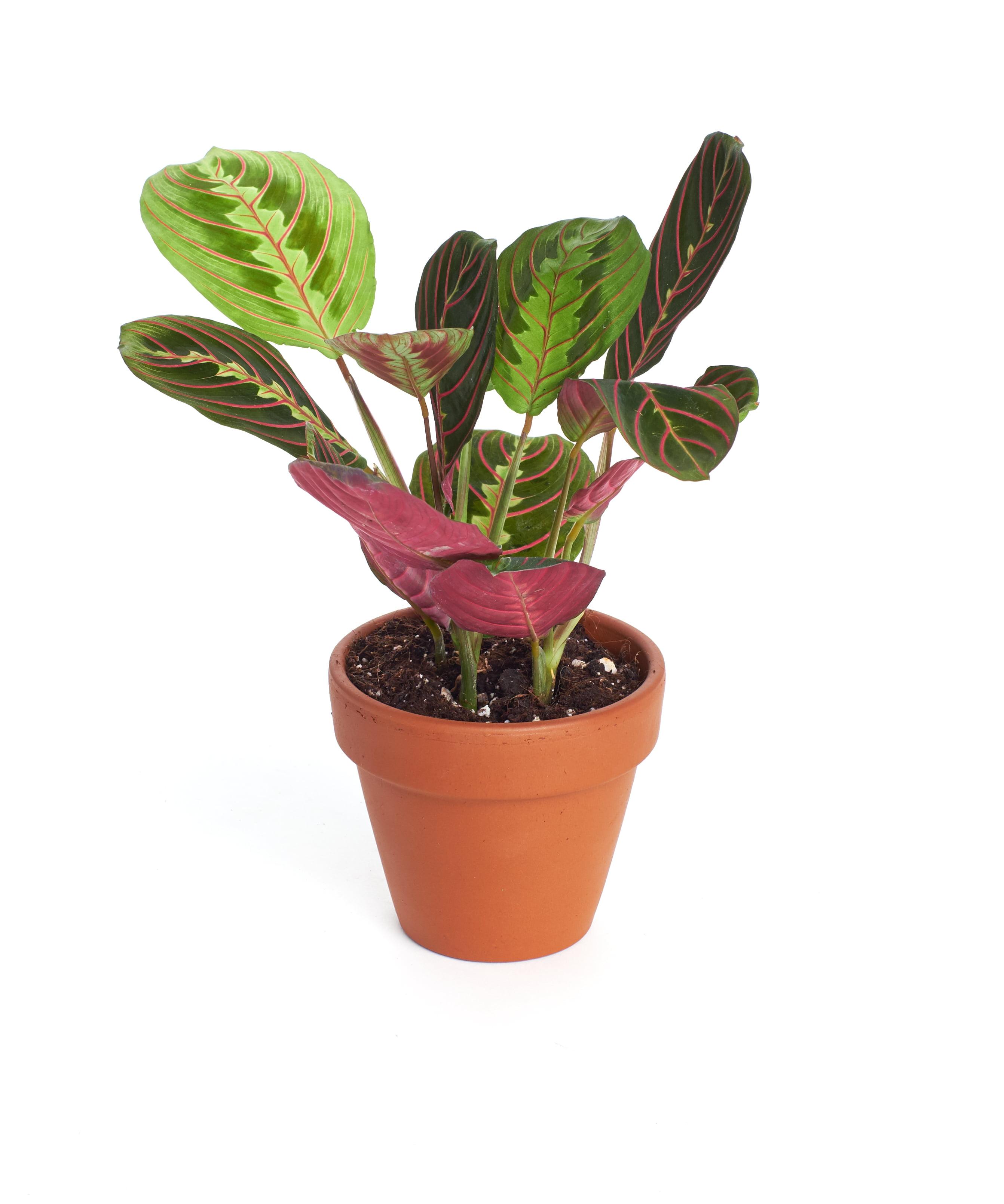 4 Pot Fantastic Color Actual Real Plants- MARANTA 1 Live Plant Variegated- 4 Pot PRAYER PLANT