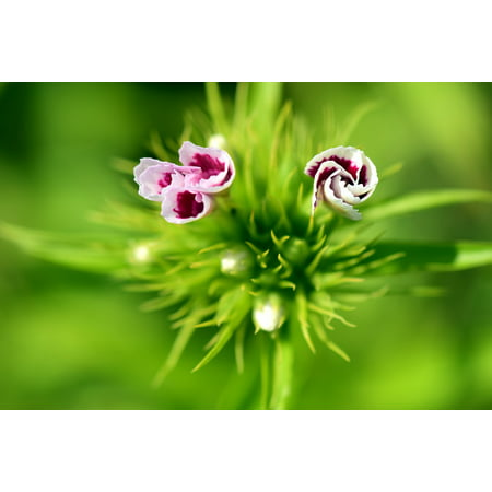 Blooming Sweets - LAMINATED POSTER Flower Red Plant Blossom Bud Sweet William Bloom Poster Print 11 x 17
