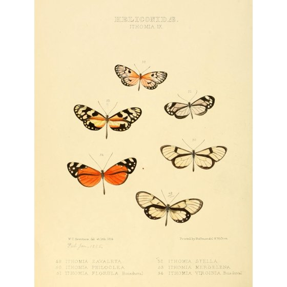W. Chapman Hewitson Stretched Canvas Art - Exotic Butterflies 1866 ...