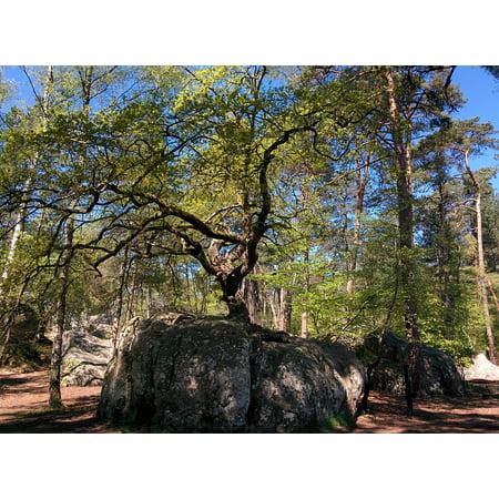 Canvas Print Oak Bonsai Oak Fontainebleau Forest Canon Rock Stretched Canvas 10 x 14