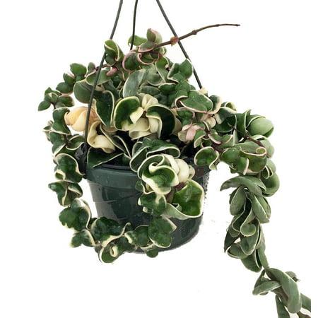 Variegated Hindu Rope 6 Hanging Basket Hoya Exotic Walmartcom