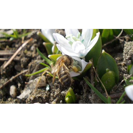 Canvas Print White Flower Squill Bee Nectar Collected Spring Stretched Canvas 10 x 14
