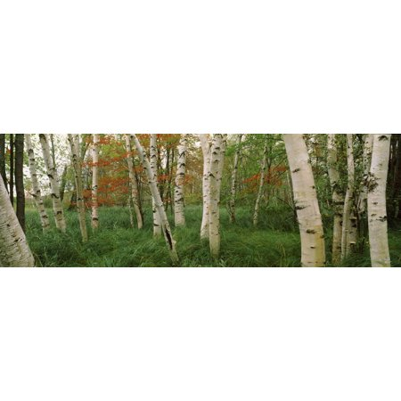 Downy Birch (Betula Pubescens) Trees in a Forest, Wild Gardens of Acadia, Acadia National Park Print Wall Art ()