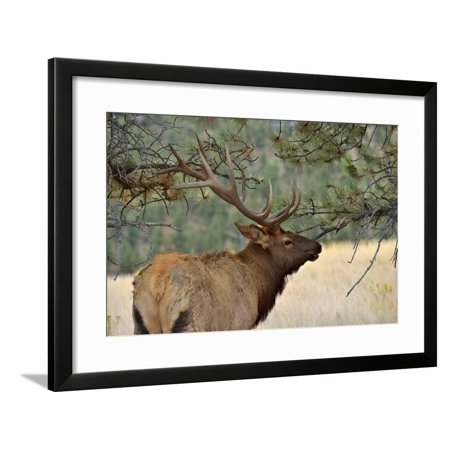 In the Woods - A Strong Mature Bull Elk, with its Massive Antlers, Walking between Ponderosa Pines Framed Print Wall Art By Sean Xu