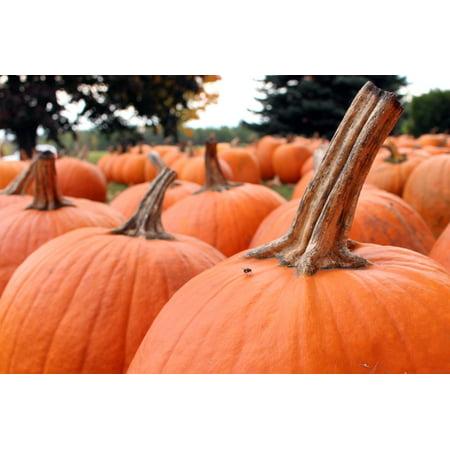 October Halloween (LAMINATED POSTER Fall Autumn Halloween Pumpkins October Orange Poster Print 24 x)