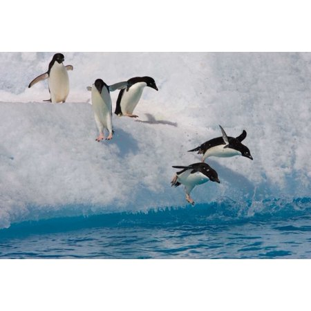 Adelie Penguin Group Jumping And Diving Off Iceberg Into Cold Water Paulet Island Antarctica Poster Print By Suzi Eszterhas