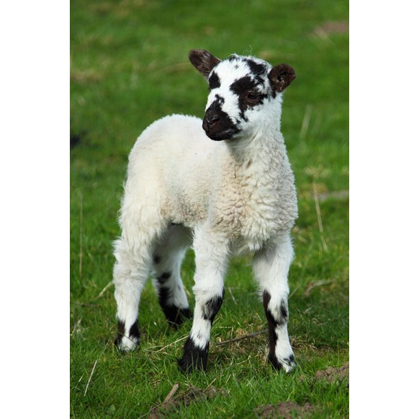 Baby Sheep Cute Lamb New Animal Grass Field 20 Inch By 30 Inch Laminated Poster With Bright Colors And Vivid Imagery Fits Perfectly In Many Attractive Frames Walmart Com Walmart Com