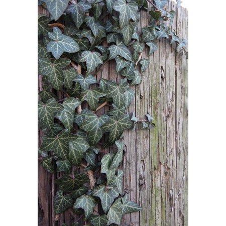 (Laminated Poster Creeper Climbing Ivy English Ivy Green Vine Lush Poster Print 24 x 36)
