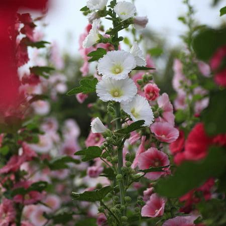Charter's Double Mixture Hollyhock Flower Garden Seeds - 1000 Seeds - Perennial Holly Hock Flower Gardening