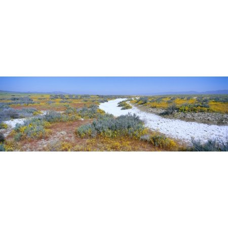 Panoramic View Of White Salt And Desert Gold Yellow Flowers At Soda Lake In Spring Carrizo Plain National Monument San Luis Obispo County California Canvas Art   Panoramic Images  36 X 12
