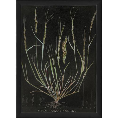 The Artwork Factory Aegilops Cylindrica Vintage Plant Study Framed Graphic Art by Blueprint Artwork