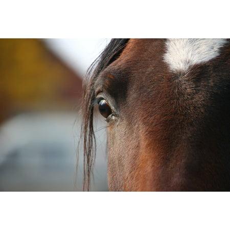 LAMINATED POSTER Brown Horse Thoroughbred Arabian Stallion Poster Print 24 x 36