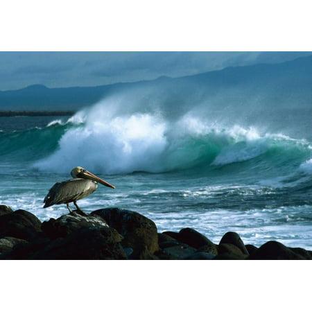 Brown Pelican and ocean waves Galapagos Islands Ecuador Poster Print by Konrad -