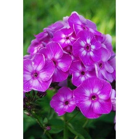 - Laura Phlox Perennial - Purple Blooms - Live Plant - Quart Pot