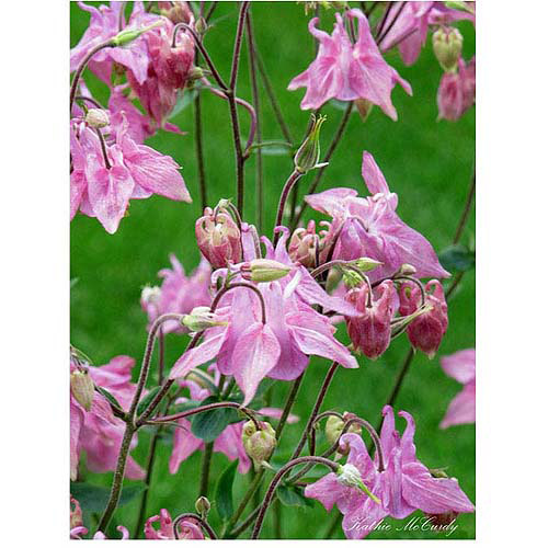 "Trademark Art ""Pink Columbine"" Canvas Art by Kathie McCurdy, 35x47"