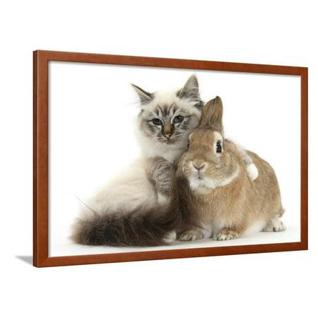 Tabby-Point Birman Cat with Paw Round Sandy Netherland-Cross Rabbit Framed Print Wall Art By Mark Taylor